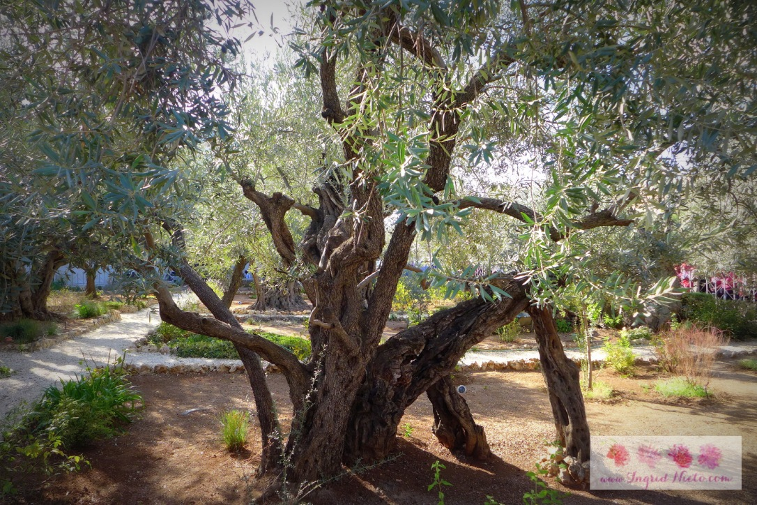 """One of the 8 olive trees in the garden. Many have debated on the age of these trees--if they were the ones that stood when Jesus prayed. Research from 2012  says """"Analysis of their DNA found they were planted from the same parent plant, possibly in an attempt to preserve a particular lineage.""""  Olive trees can regenerate themselves through shoots from the parent tree's roots which in turn, become new trees."""