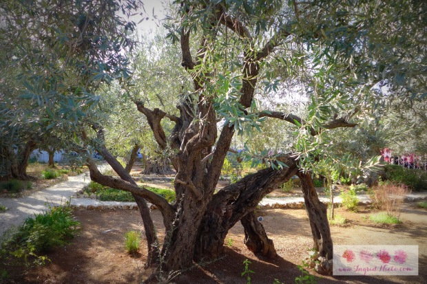 "One of the 8 olive trees in the garden. Many have debated on the age of these trees--if they were the ones that stood when Jesus prayed. Research from 2012  says ""Analysis of their DNA found they were planted from the same parent plant, possibly in an attempt to preserve a particular lineage.""  Olive trees can regenerate themselves through shoots from the parent tree's roots which in turn, become new trees."